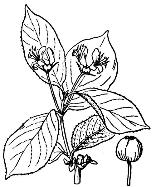 Lonicera alpigena L. [1753] - illustration de coste