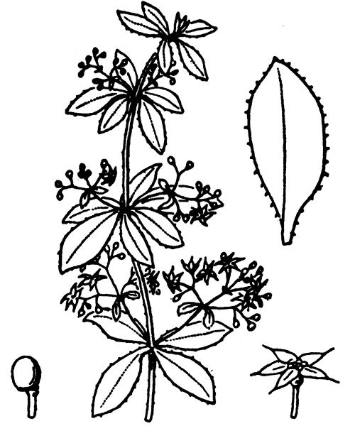Rubia peregrina L. - illustration de coste