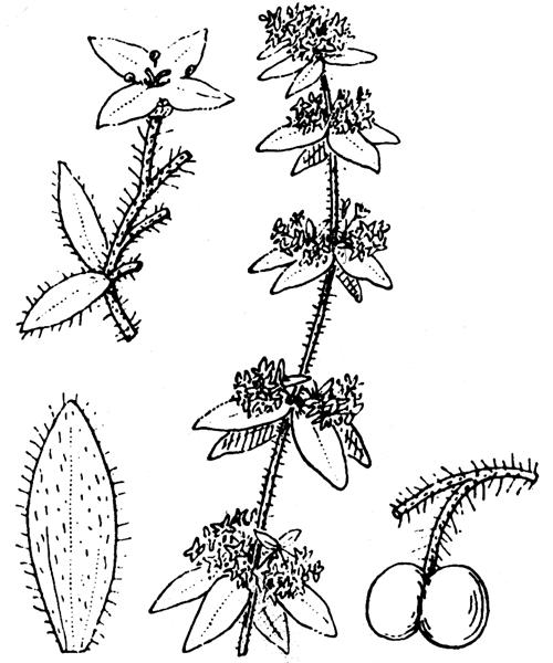 Cruciata laevipes Opiz - illustration de coste