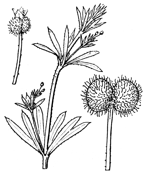 Galium aparine L. [1753] - illustration de coste