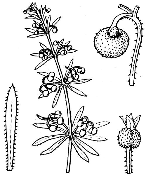 Galium tricornutum Dandy - illustration de coste