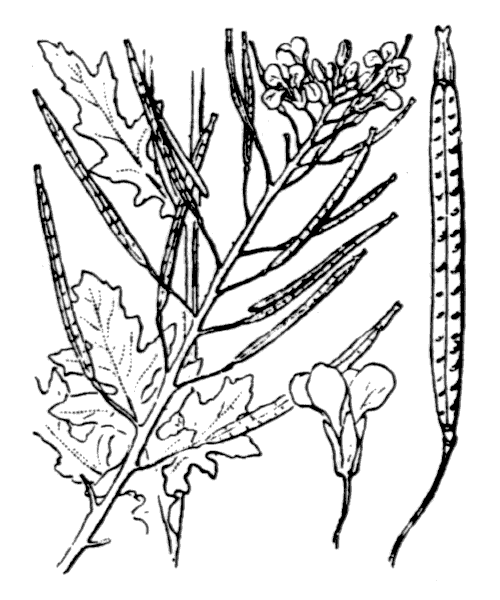 Diplotaxis erucoides (L.) DC. [1821] - illustration de coste