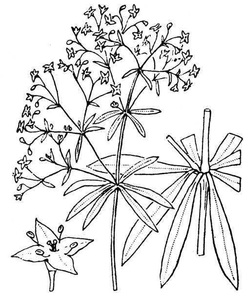 Galium sylvaticum L. - illustration de coste