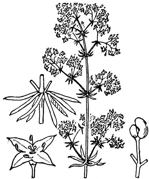 Galium lucidum All. - illustration de coste