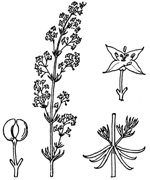 Galium corrudifolium Vill. [1779] - illustration de coste