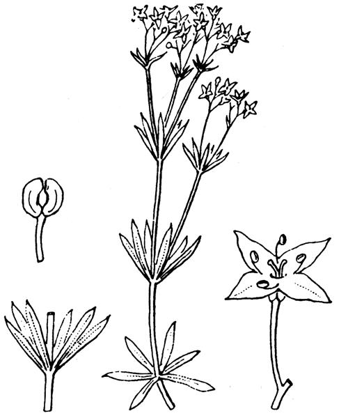Galium anisophyllon Vill. [1779] - illustration de coste