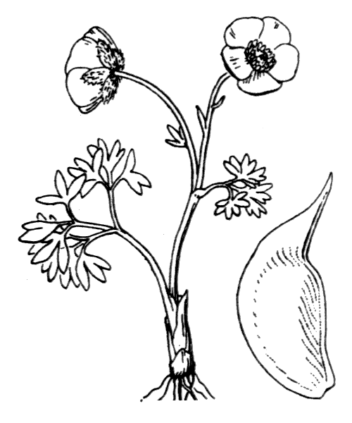 Ranunculus glacialis L. - illustration de coste