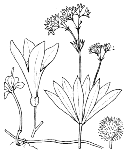 Galium odoratum (L.) Scop. - illustration de coste