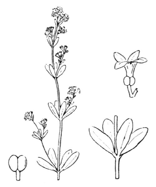 Asperula laevigata L. [1767] - illustration de coste