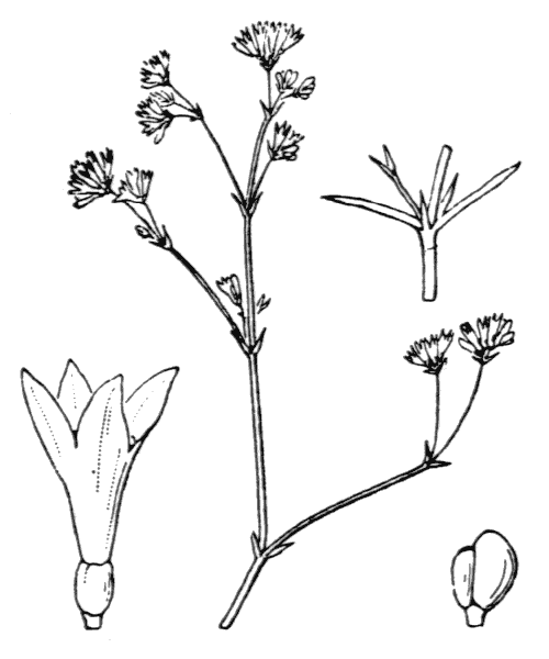Asperula cynanchica L. - illustration de coste
