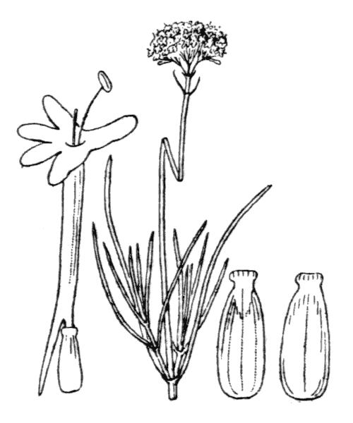 Centranthus angustifolius (Mill.) DC. - illustration de coste