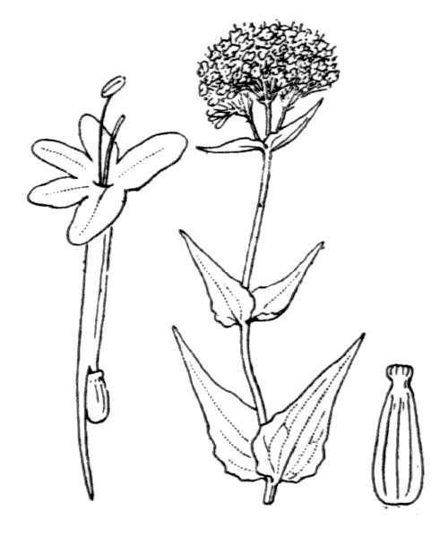 Centranthus ruber (L.) DC. [1805] - illustration de coste