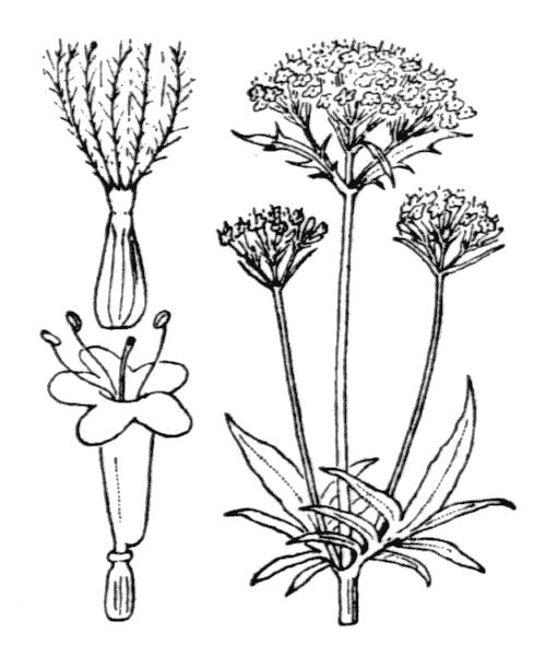 Valeriana officinalis subsp. sambucifolia (J.C.Mikan ex Pohl) Celak. - illustration de coste