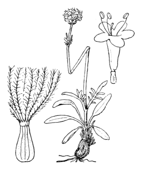 Valeriana tuberosa L. - illustration de coste