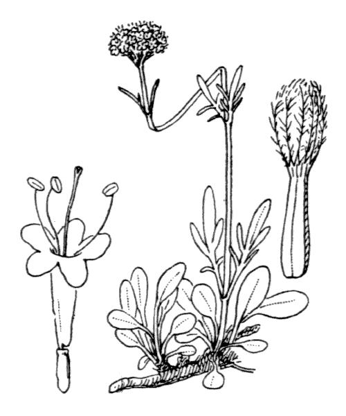 Valeriana apula Pourr. [1788] - illustration de coste