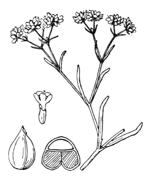 Valerianella dentata f. rimosa (Bastard) Devesa, J.López & R.Gonzalo - illustration de coste