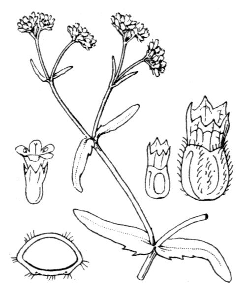 Valerianella eriocarpa Desv. - illustration de coste