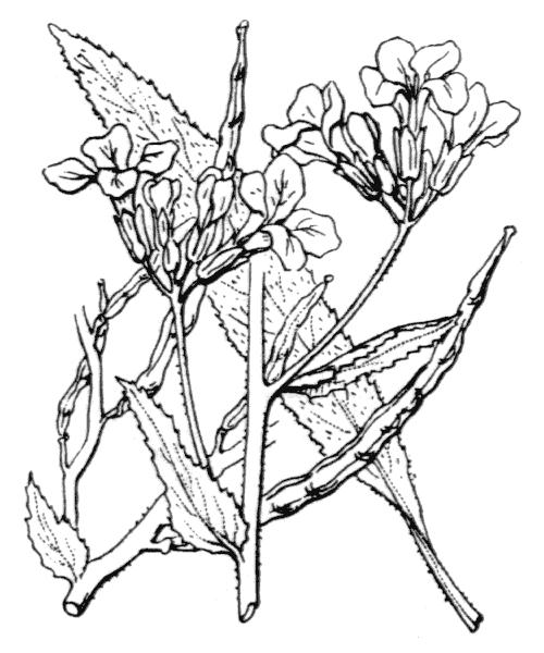Hesperis matronalis L. - illustration de coste