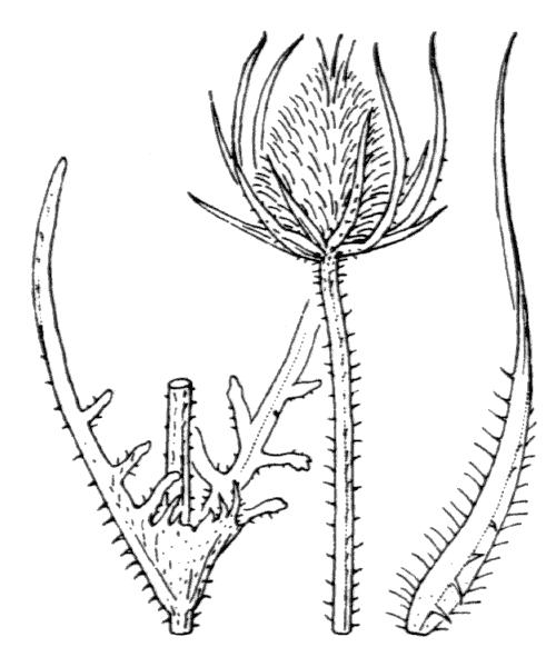Dipsacus laciniatus L. - illustration de coste