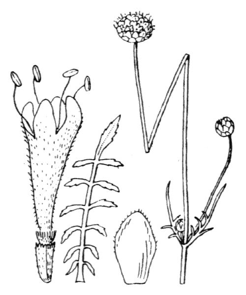 Cephalaria leucantha (L.) Schrad. ex Roem. & Schult. - illustration de coste