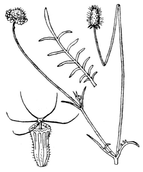 Scabiosa atropurpurea var. maritima (L.) Fiori - illustration de coste