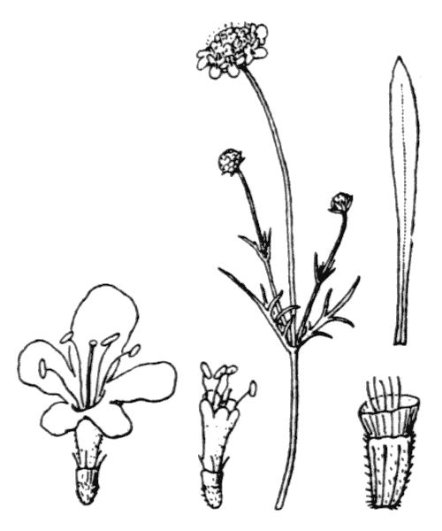 Scabiosa canescens Waldst. & Kit. - illustration de coste