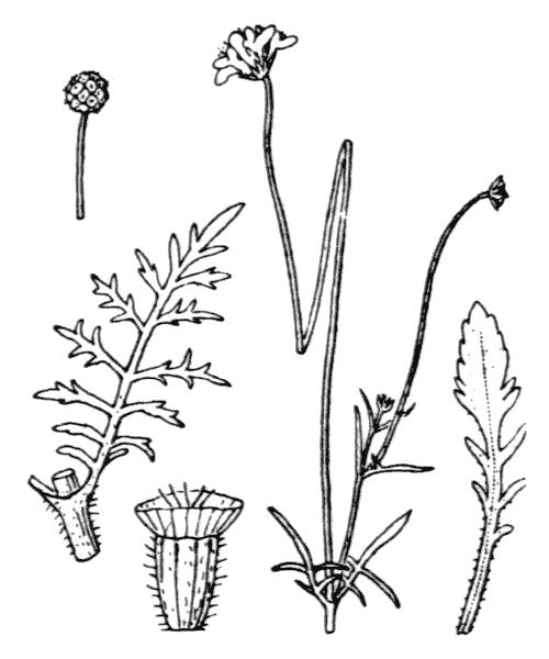 Scabiosa triandra L. - illustration de coste