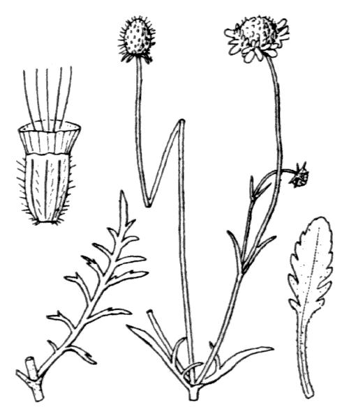 Scabiosa columbaria L. - illustration de coste