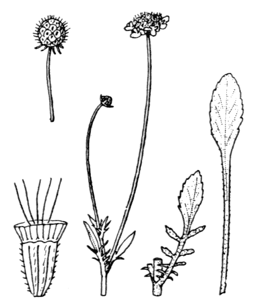 Scabiosa cinerea Lapeyr. ex Lam. - illustration de coste