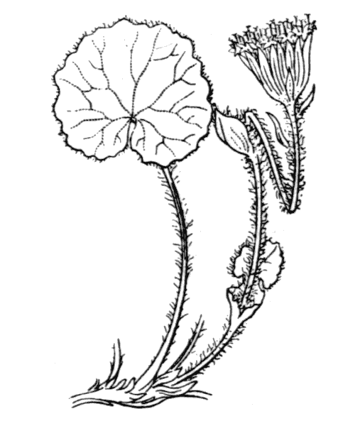 Homogyne alpina (L.) Cass. - illustration de coste