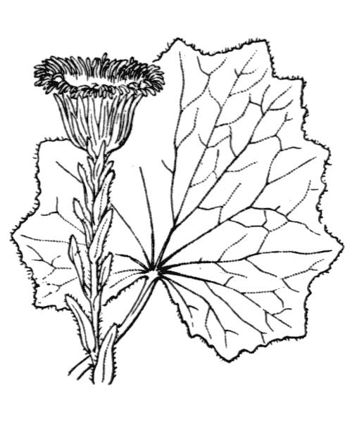 Tussilago farfara L. - illustration de coste