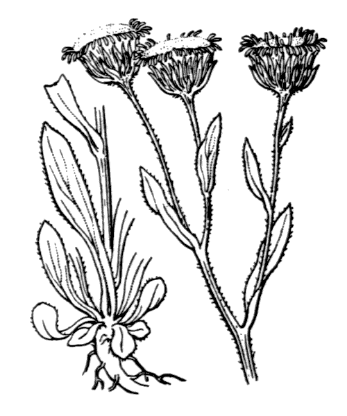 Erigeron atticus Vill. - illustration de coste