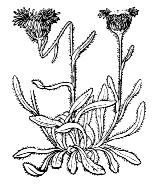 Erigeron uniflorus L. - illustration de coste