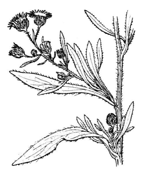 Erigeron sumatrensis Retz. - illustration de coste