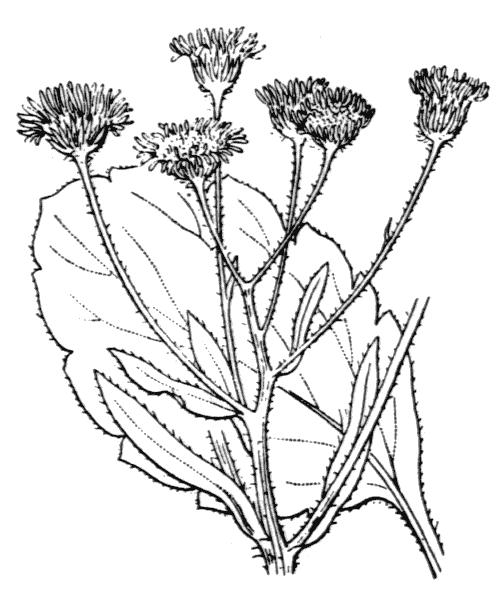 Erigeron annuus (L.) Desf. var. annuus - illustration de coste
