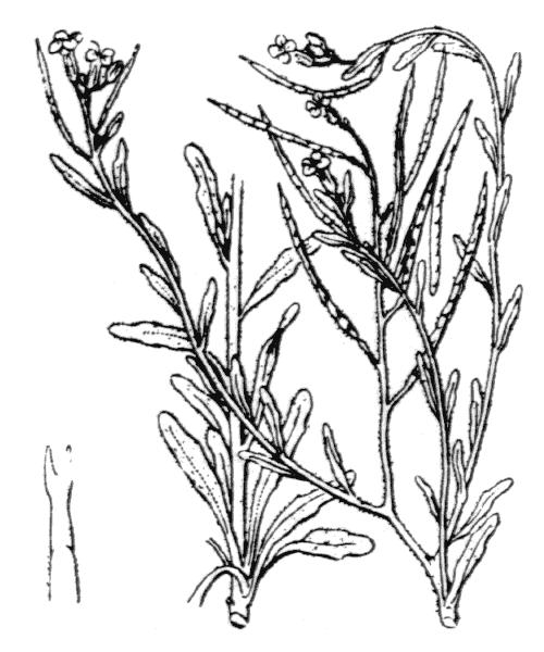 Marcus-kochia ramosissima (Desf.) Al-Shehbaz - illustration de coste