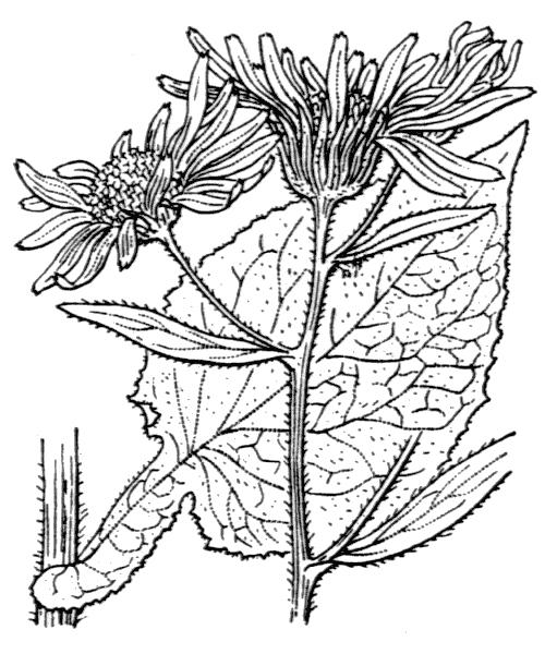Doronicum austriacum Jacq. - illustration de coste