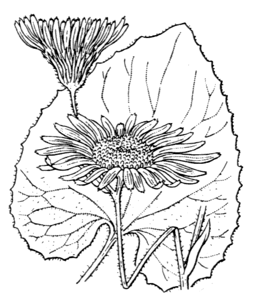 Doronicum pardalianches L. - illustration de coste