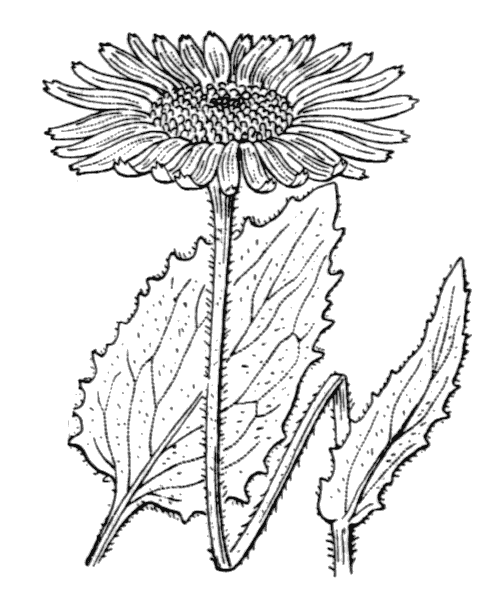 Doronicum grandiflorum Lam. - illustration de coste
