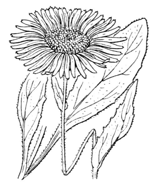 Doronicum clusii (All.) Tausch - illustration de coste