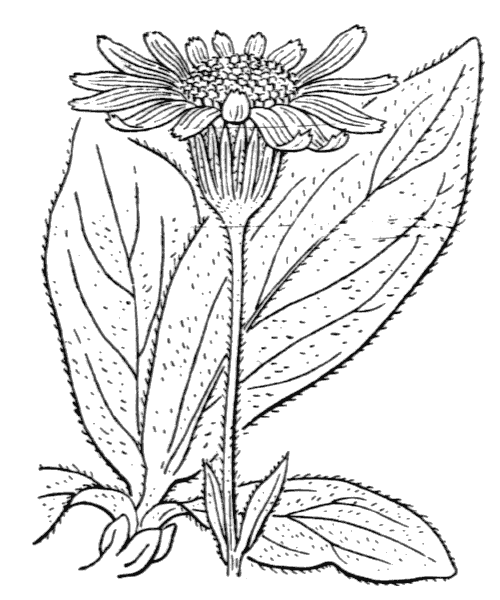 Arnica montana L. [1753] - illustration de coste