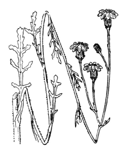 Senecio gallicus Vill. - illustration de coste