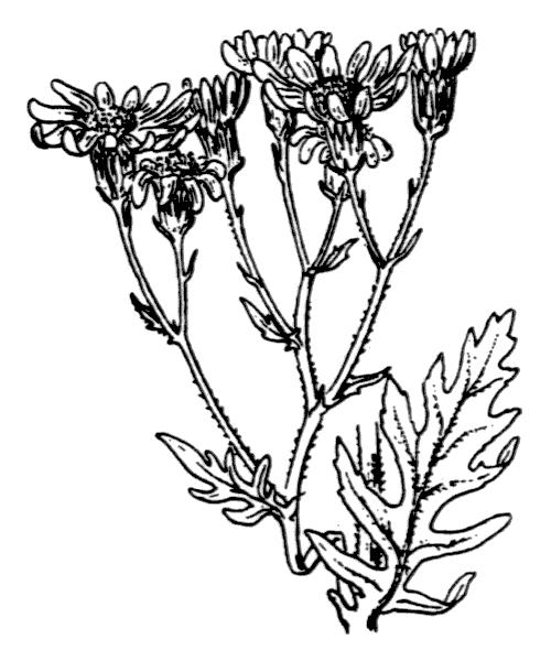 Jacobaea erucifolia (L.) G.Gaertn., B.Mey. & Scherb. - illustration de coste