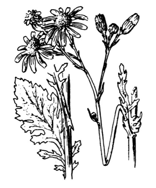 Jacobaea vulgaris Gaertn. - illustration de coste