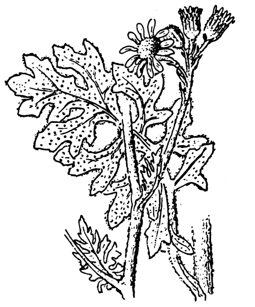 Jacobaea maritima (L.) Pelser & Meijden - illustration de coste
