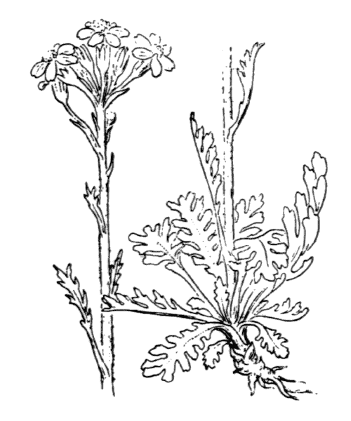 Jacobaea incana (L.) Veldkamp - illustration de coste