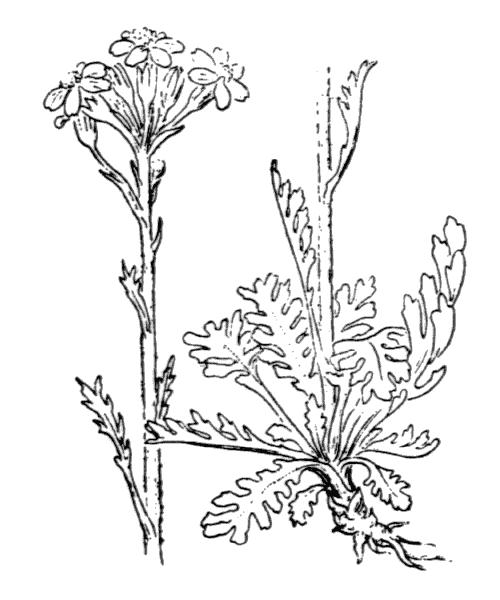 Jacobaea incana (L.) Veldkamp - illustration de coste
