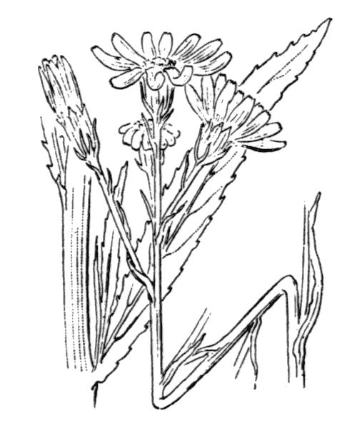 Jacobaea paludosa (L.) G.Gaertn., B.Mey. & Scherb. [1801] - illustration de coste