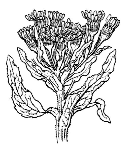 Tephroseris palustris (L.) Rchb. [1842] - illustration de coste