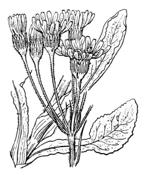 Tephroseris helenitis (L.) B.Nord. subsp. helenitis - illustration de coste